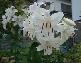 カサブランカ (植物)の画像 p1_17
