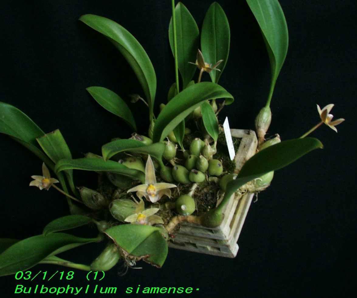 http://orchidenc.fc2web.com/gensyu/Bulbophyllum~siamense~Rchbf1867~20030118Gombessa.jpg