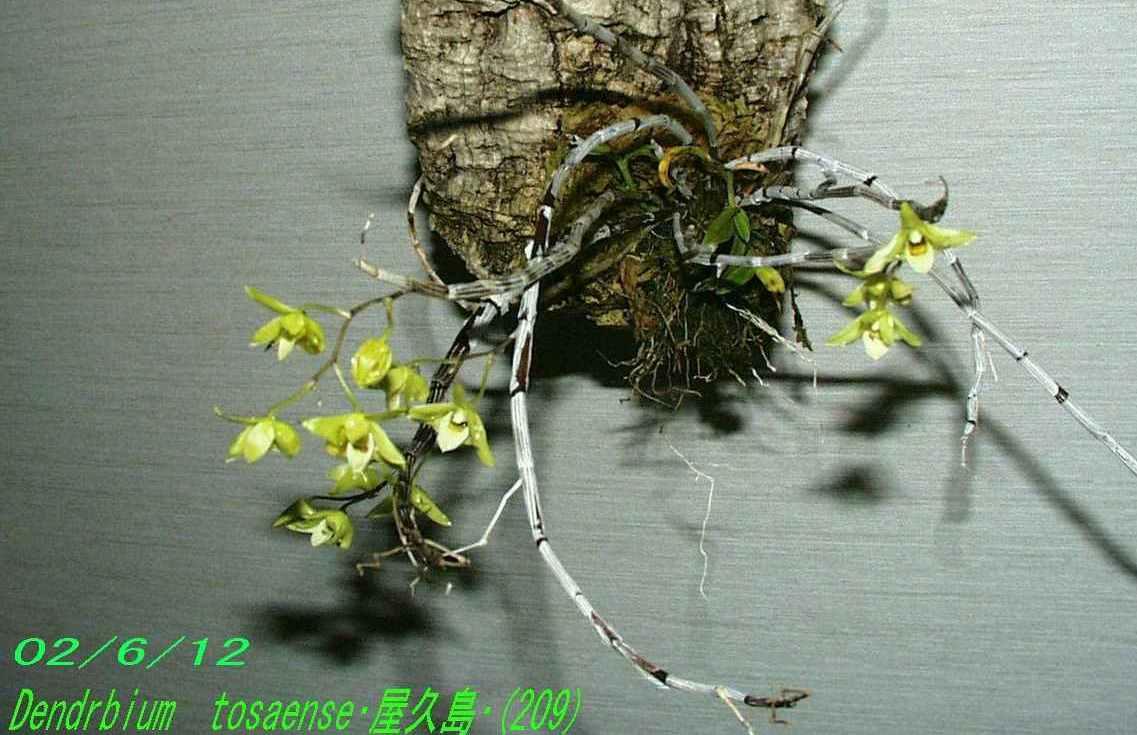 http://orchidenc.fc2web.com/gensyu/Den~tosaense~Yakushima20020612Gombessa.jpg
